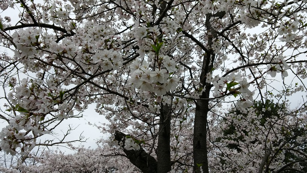 Pictures of the 2015 High Park Cherry Blossoms
