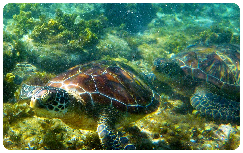 apo island sea turtles philippines