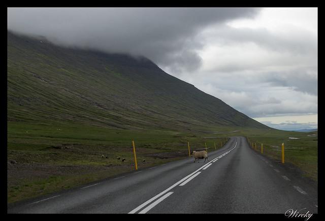 Oveja en mitad del camino