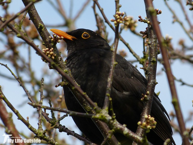 P1120077 - Blackbird