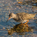 Redshank by grahamnichols47