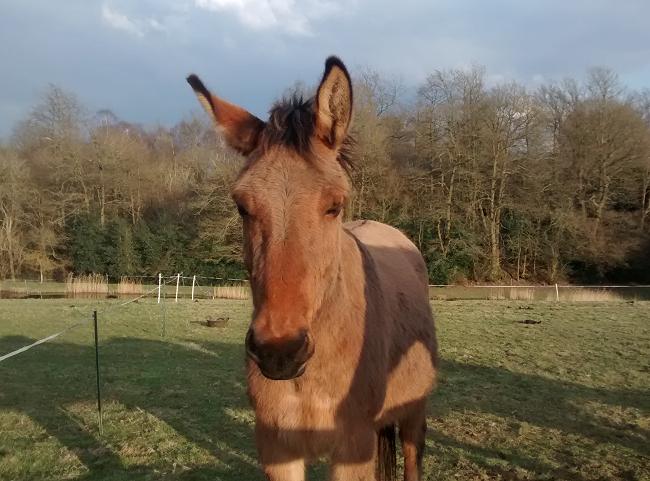 Quizzical Mule
