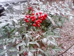 Nandina in Winter