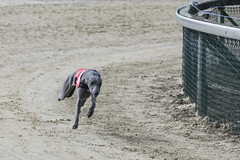 dog sports(1.0), animal sports(1.0), dog(1.0), greyhound racing(1.0), sand(1.0), sports(1.0), pet(1.0), greyhound(1.0),