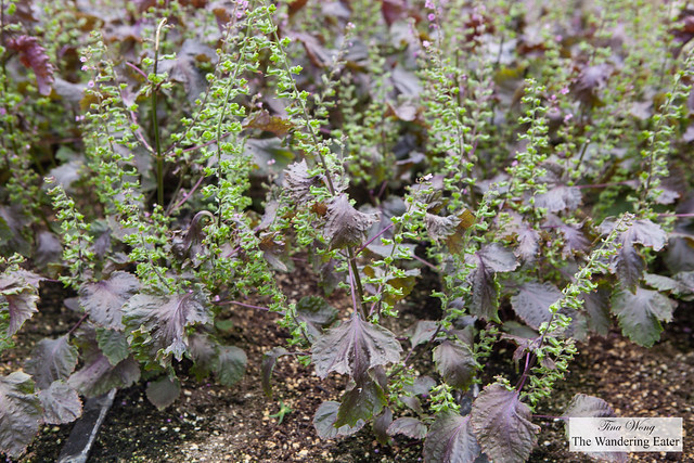 Shiso plant and its flowers blooming