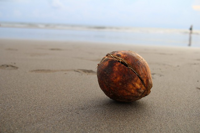 Lonely Coconut  on the Beach