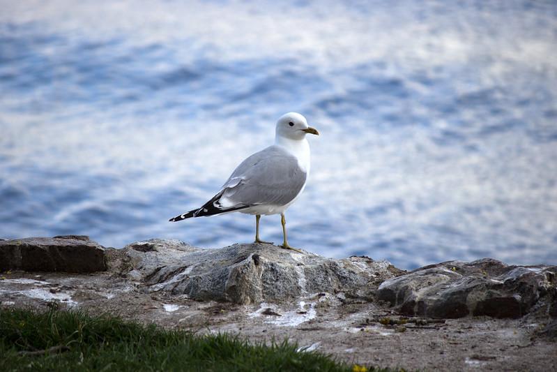 103 av 365 - Sjöfågel