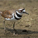 Killdeer - Explored July 21, 2016 by Chris Lue Shing