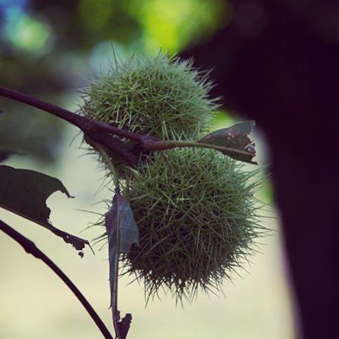 Menuda castaña nos vamos a pillar! #alcoba #castillalamancha #igersciudadreal #castaño #árboles #bosque #pinchos