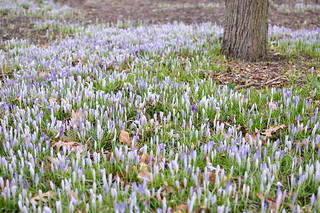 Crocus Drift II