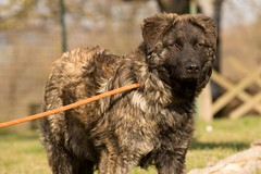 estrela mountain dog(0.0), old german shepherd dog(0.0), tervuren(0.0), mudi(0.0), dog breed(1.0), animal(1.0), dog(1.0), caucasian shepherd dog(1.0), pet(1.0), carnivoran(1.0),