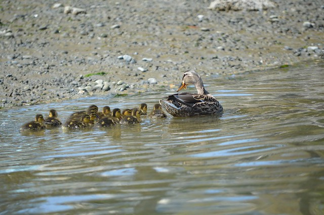 Duck and chicks2