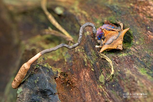 Giant shield bug (Tessaratomidae) with cordyceps fungus - DSC_3347