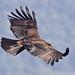 Black Eagle (Wendy Ball)