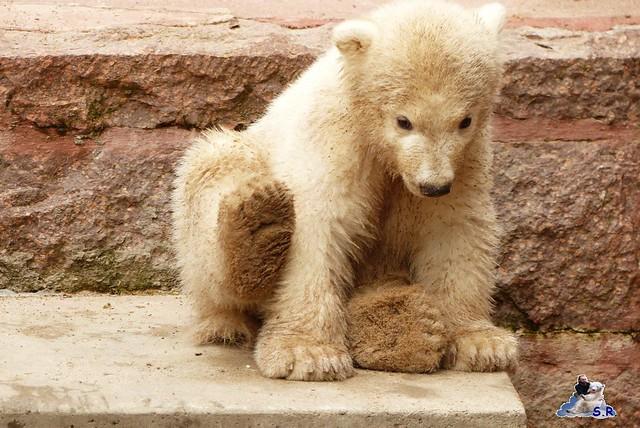 Zoo Rostock Eisbären 28.03.2015  48