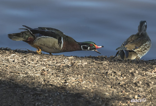 do not bother--wood duck mating ritual