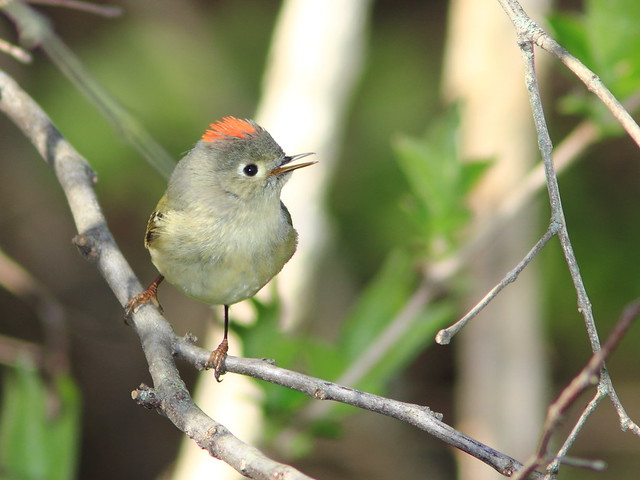 Ruby-crowned Kinglet 20150423