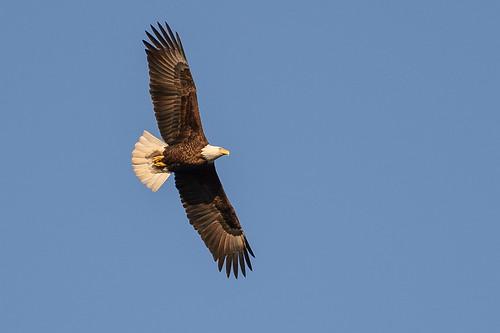 Bald Eagle_46315.jpg