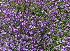 english lavender(0.0), produce(0.0), aubrieta(0.0), crop(0.0), annual plant(1.0), flower(1.0), plant(1.0), breckland thyme(1.0), herb(1.0), wildflower(1.0), hesperis matronalis(1.0), meadow(1.0), groundcover(1.0),