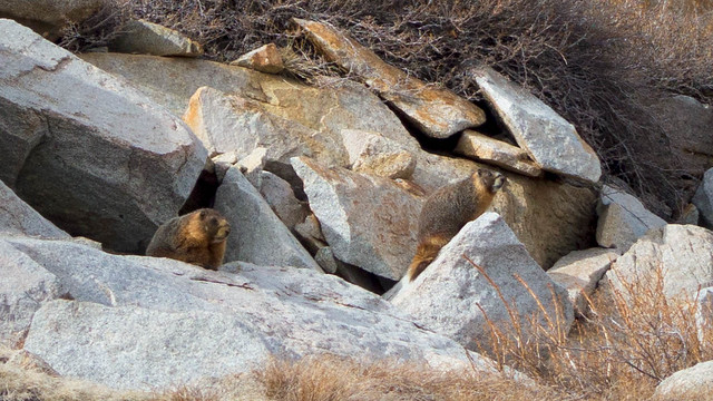 Marmots!  m776