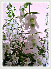 Macro of Angelonia angustifolia 'Angelface Alba/White'