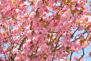 Last Blossom 2015