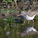 DSC_1546_Spotted_Sandpiper by FloridaFlicker