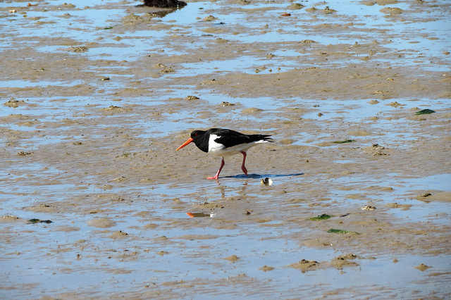 Oystercatcher on Brownsea Island