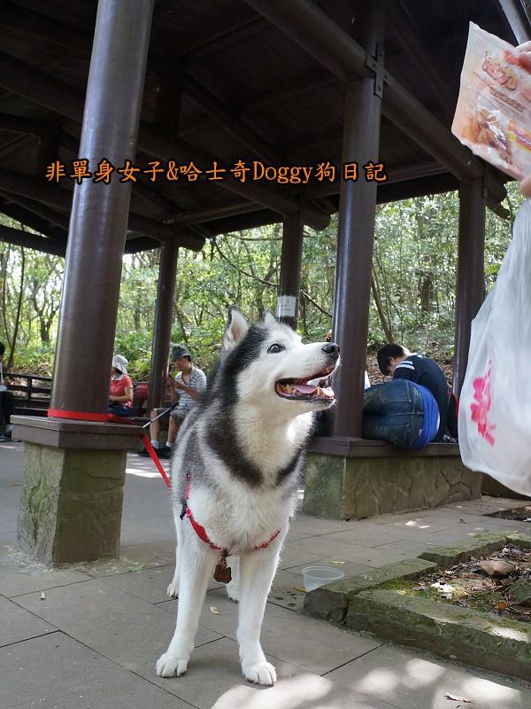 哈士奇Doggy2013陽明山二子坪12