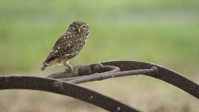 Little Owl DSC_1754