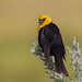 Yellow Headed Blackbird by E_Rick1502