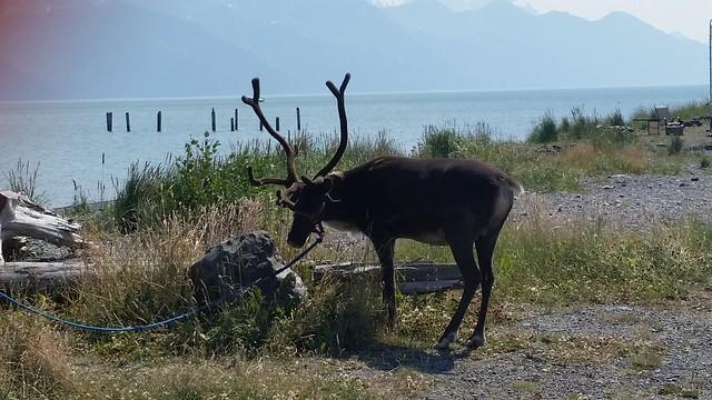 Reindeer in Seward