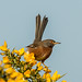 Dartford Warbler by grahamnichols47