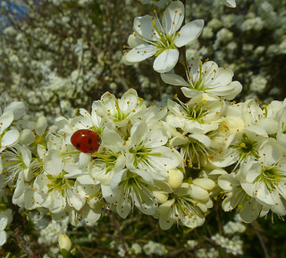 Seven-spot Ladybird on Blackthorn