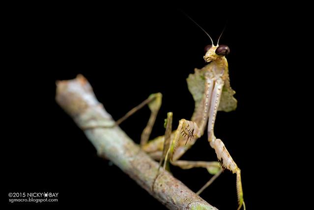 Dead leaf mantis (Deroplatys sp.) - DSC_3675