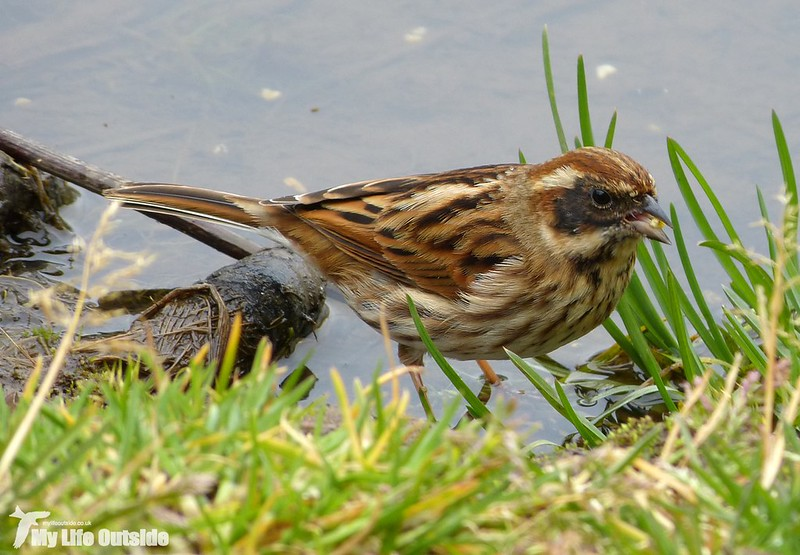 P1110288 - Reed Bunting, Forest Farm