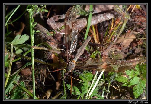 Tipula maxima femelle