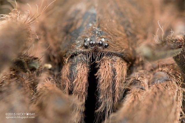 Tarantula (Theraphosidae) - DSC_5008