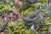 Tasmanian Thornbill Acanthiza ewingii 2015-03-27 (_MG_2390)