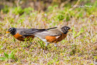 A pair of foraging American Robins