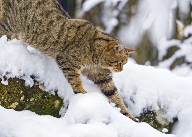 Wild cat walking in the snow