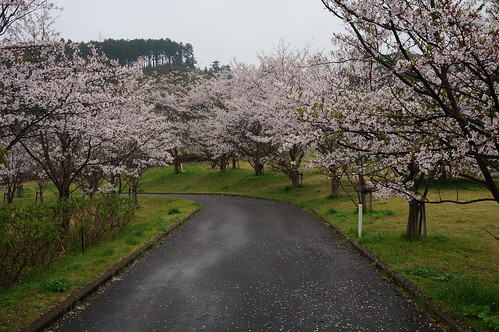7_矢那川ダム広場の桜_1