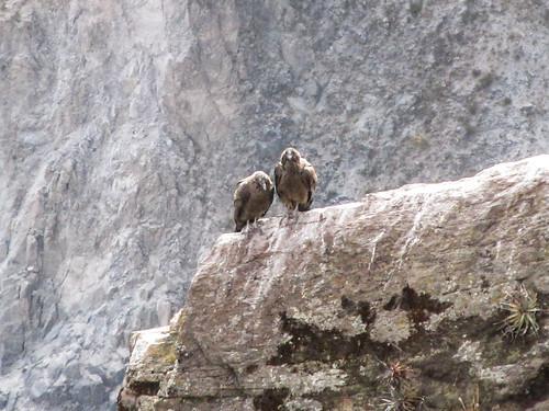Cañon de Colca: un couple de jeunes condors (plumage brun)