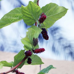 branch, leaf, tree, red mulberry, plant, fruit, mulberry,