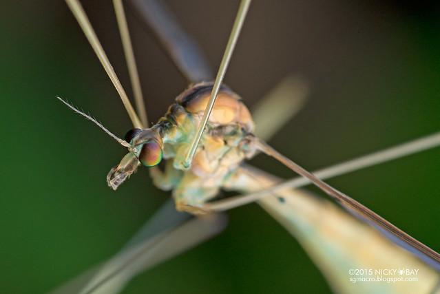 Crane fly (Tipulidae) - DSC_5110