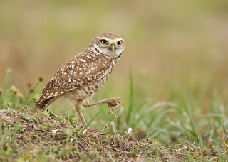 Burrowing Owl with frog prey-Cape Coral, FL