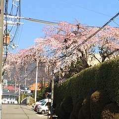 let the show begin... #sakura #japan #minoo #桜 #箕面 #大阪