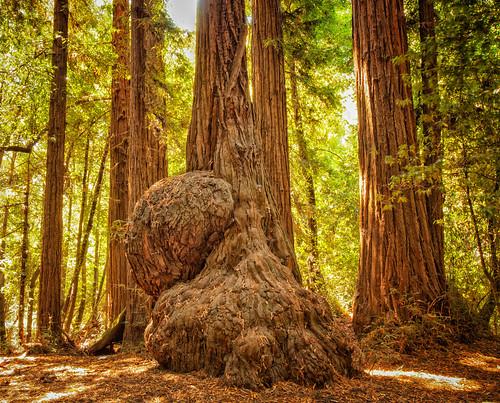 santacruz felton redwood redwoods bigtrees hwy9 henrycowellredwoodsstatepark mounthermon