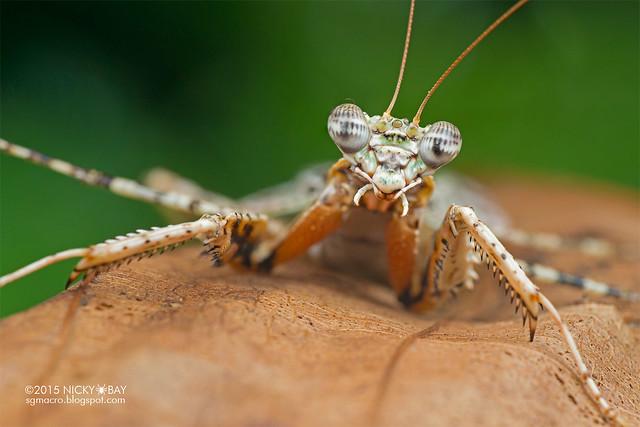 Bark mantis (Mantodea) - DSC_5453