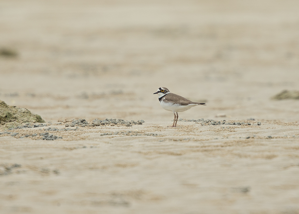 Little Ringed Plover   Thailand